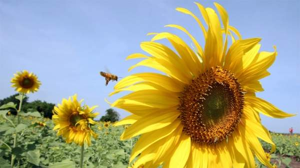 Охрана пчел предполагает коррекцию деятельности человека