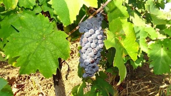 Виноделов радует благодатный год с богатым урожаем и полными бочками вина